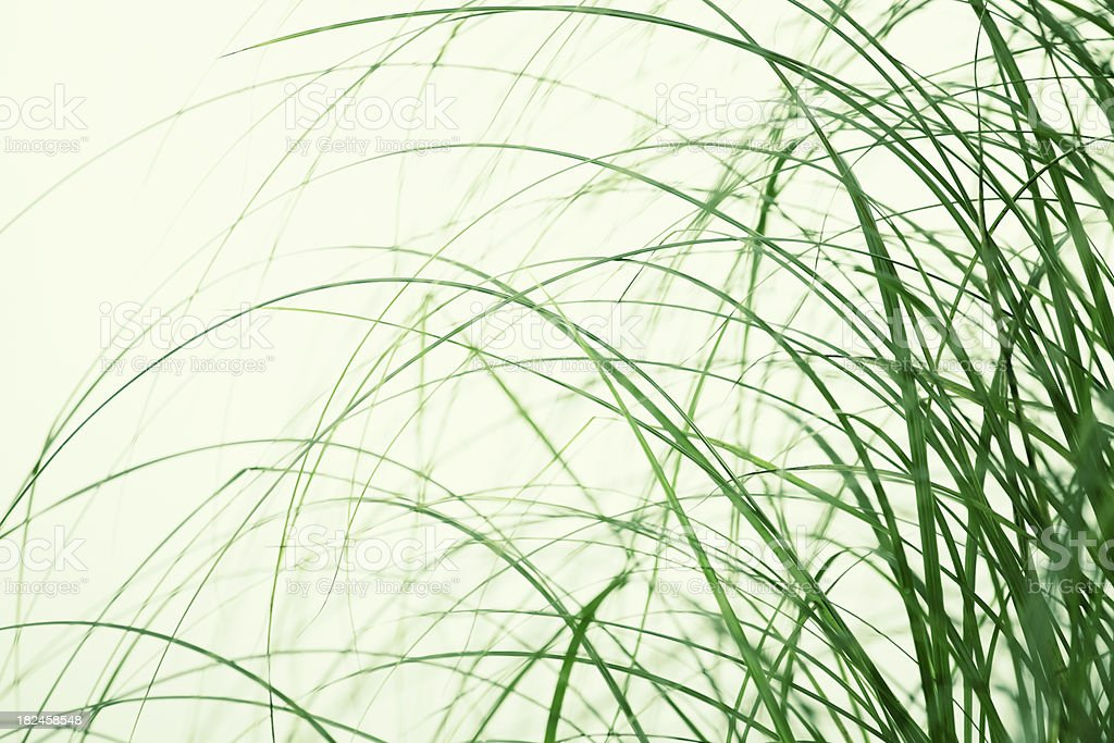 Tall grass royalty-free stock photo