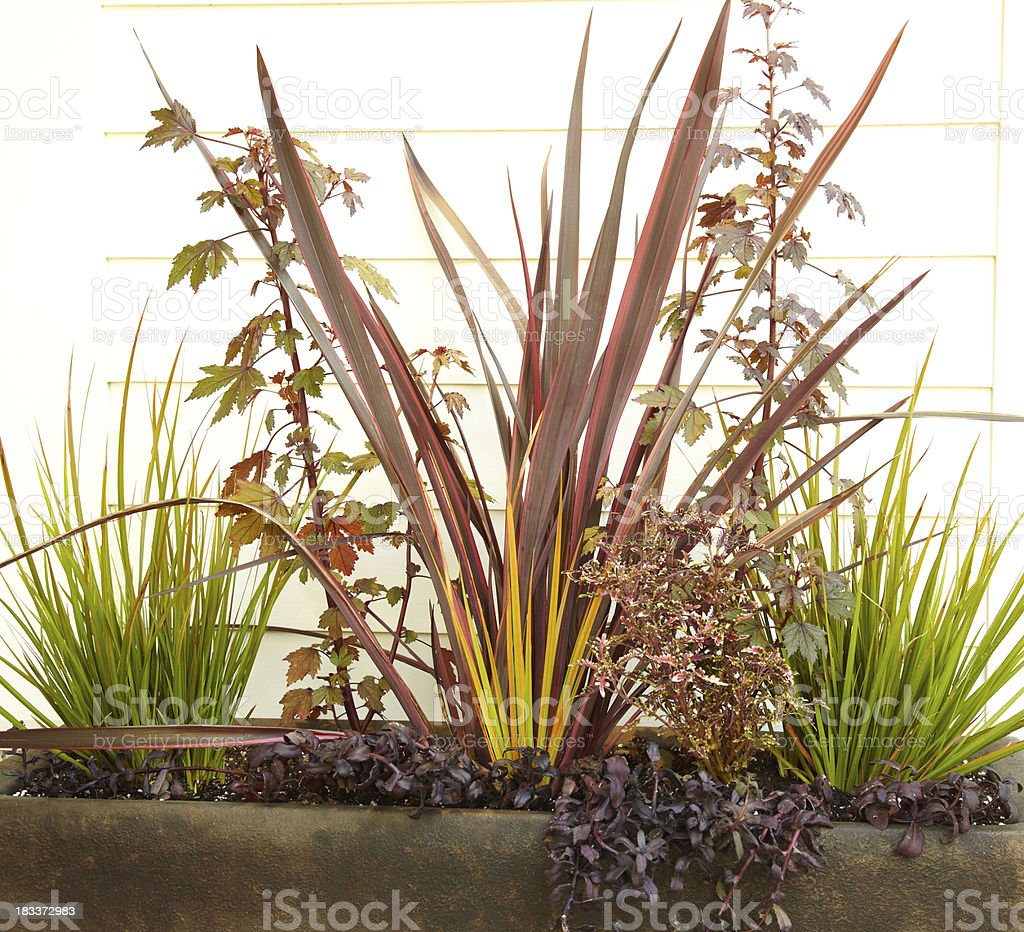 Tall grasses and maple leaves in large planter royalty-free stock photo