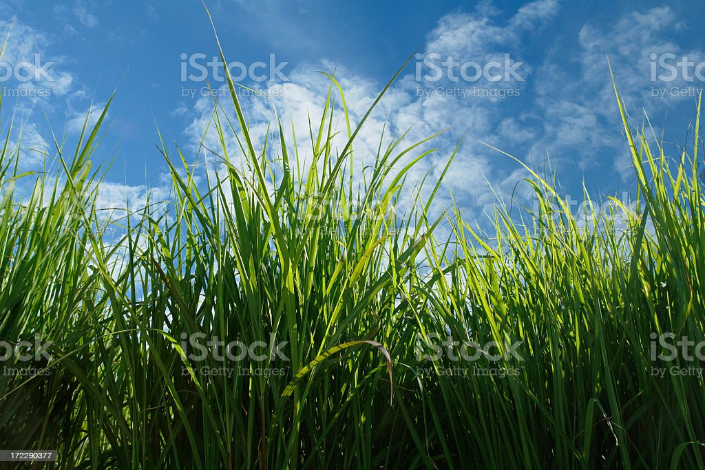 tall green grass against a sunny blue sky royalty-free stock photo