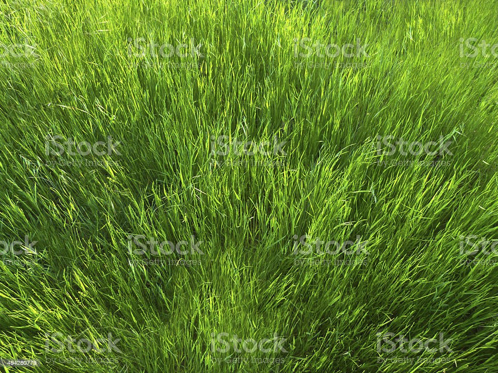 Tall Green Grass Background stock photo