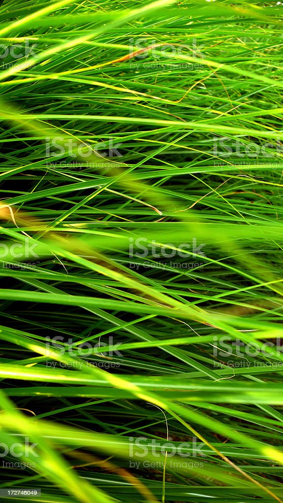 Tall, Green Grass. royalty-free stock photo