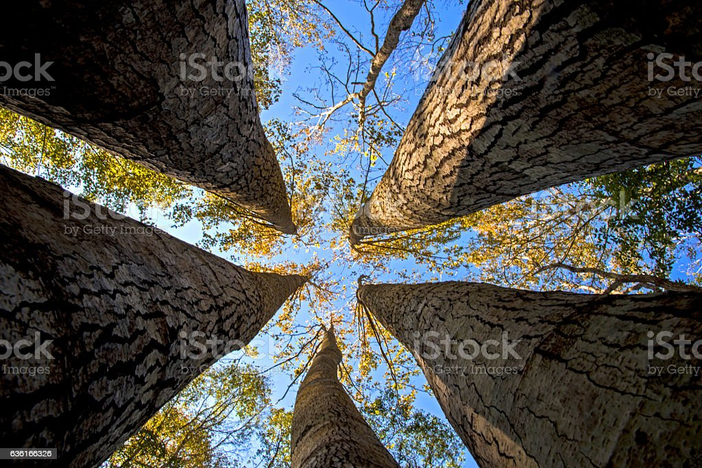 Tall maple trees in bottom view perspective. stock photo