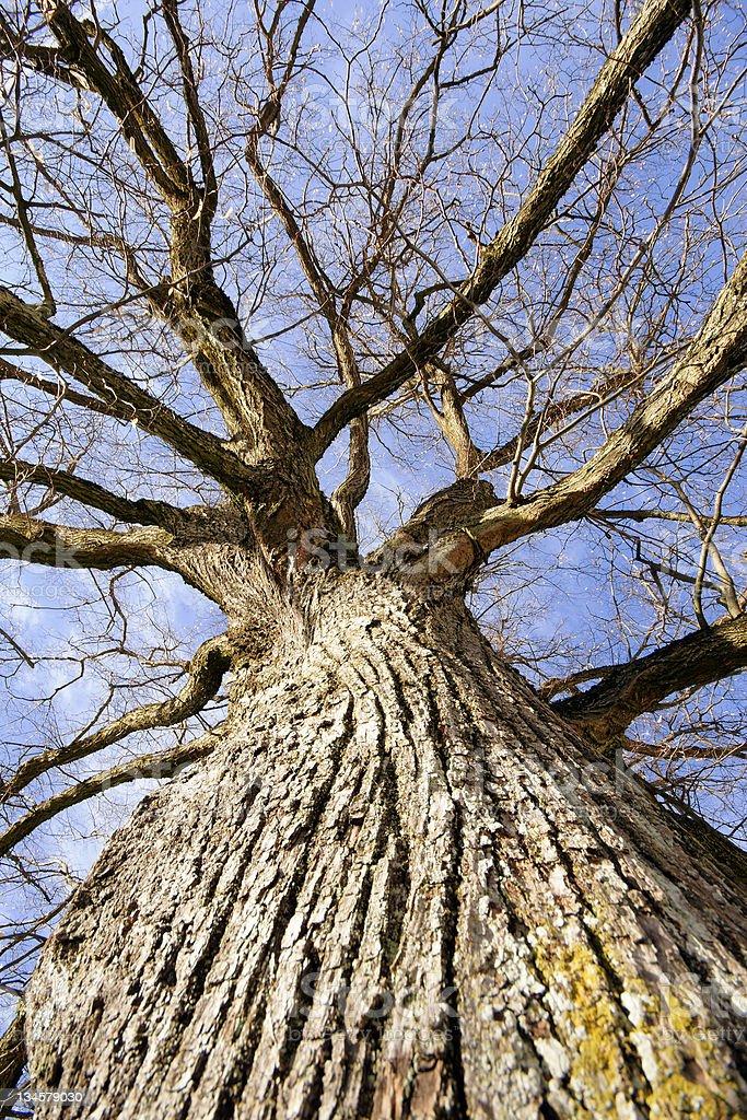 Tall Oak royalty-free stock photo
