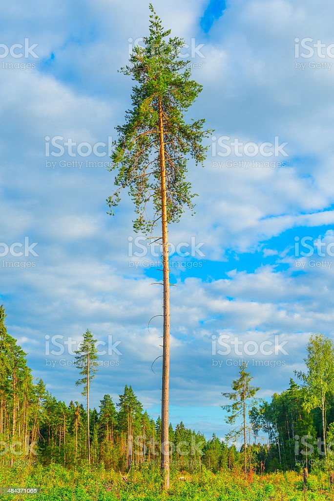 Tall old pine tree by the forest. stock photo