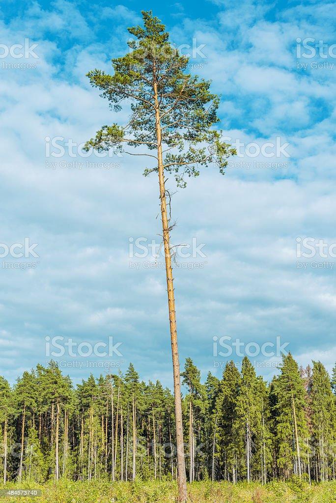 Tall old pine tree. stock photo
