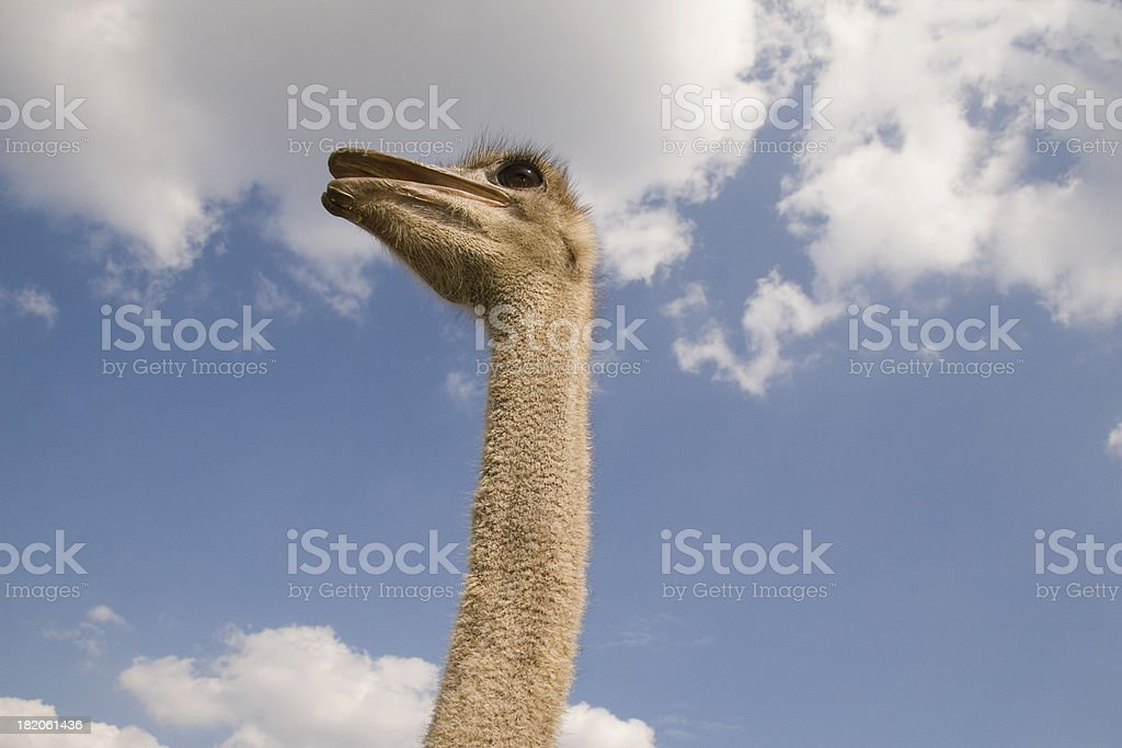 Tall ostrich in the clouds stock photo