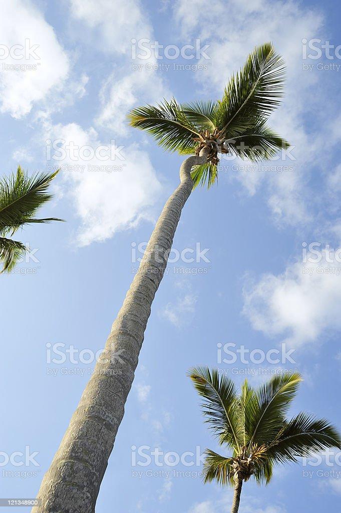 Tall palm trees stock photo