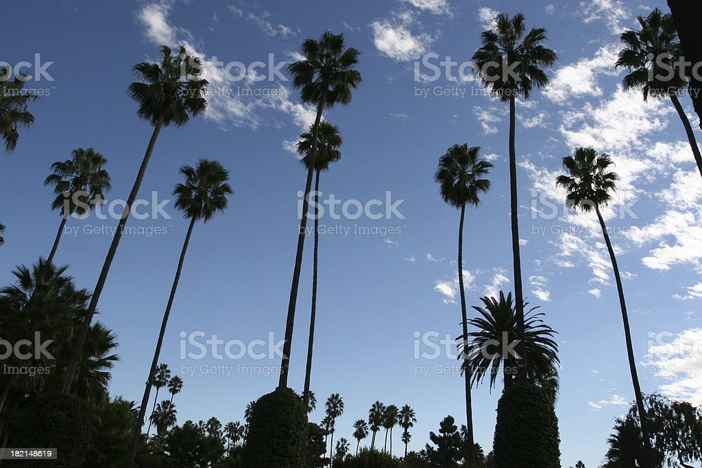 Tall Palm Trees stock photo