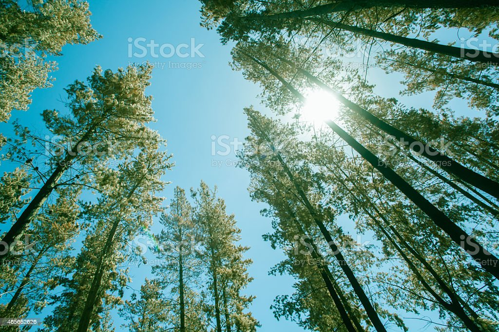 Tall pine trees against the bright blue sky stock photo