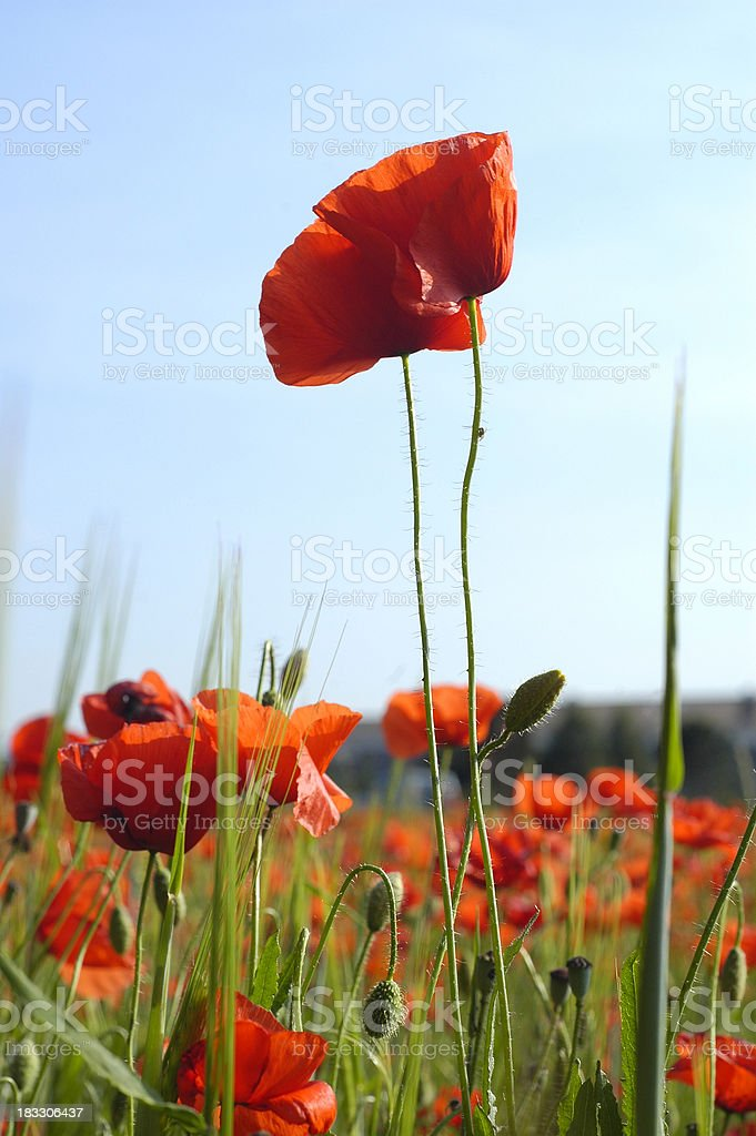 Tall poppies royalty-free stock photo
