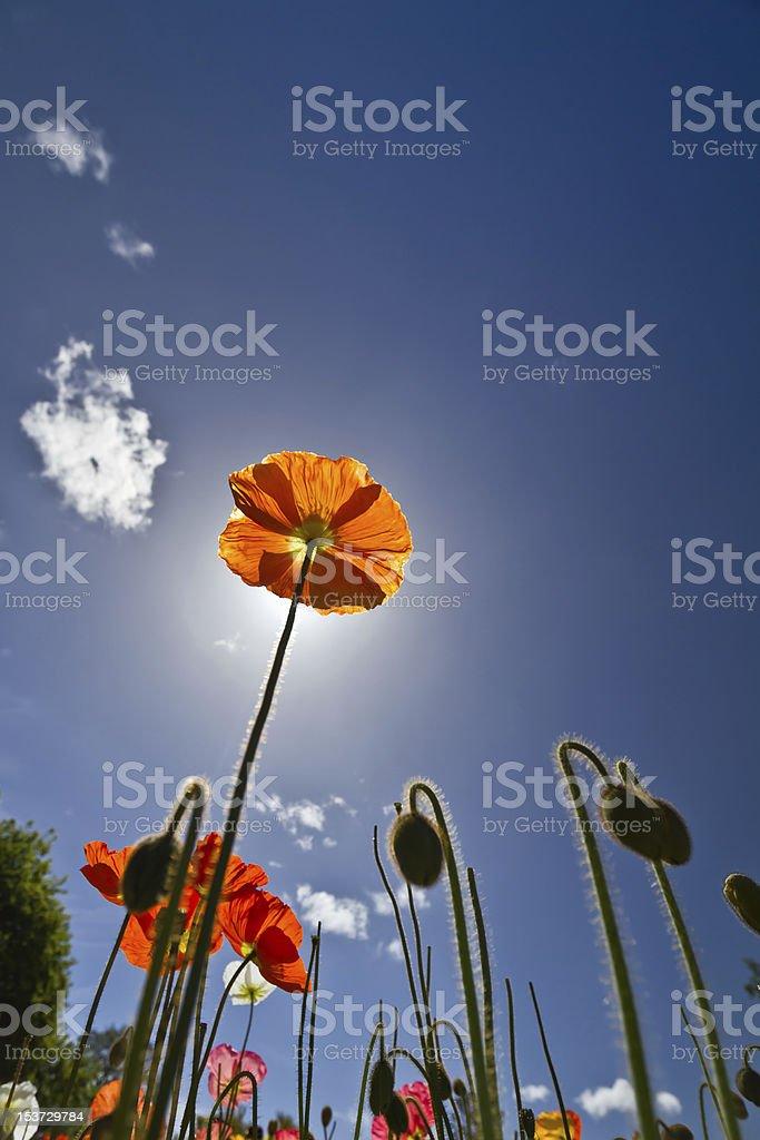 Tall Poppy Syndrome royalty-free stock photo