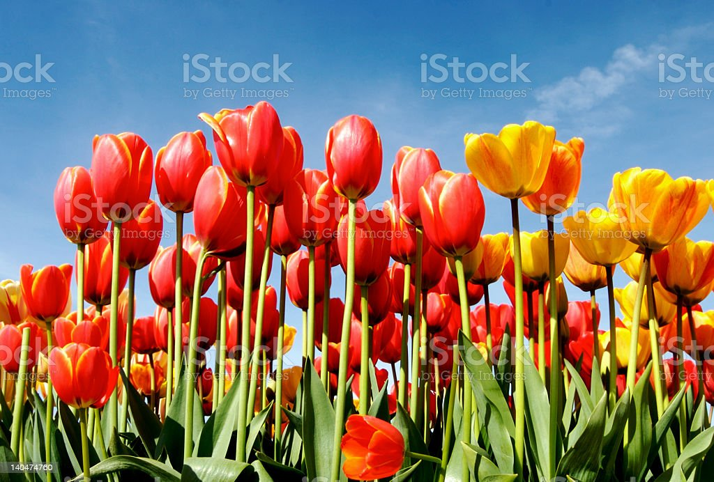 Tall red and yellow tulips in a field on a sunny day stock photo