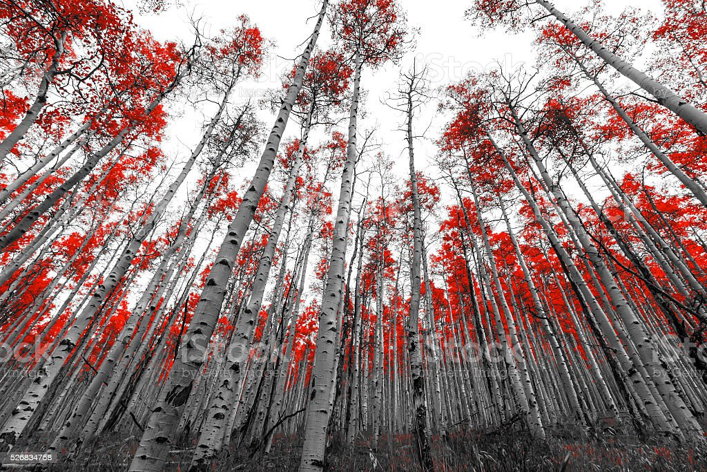 Tall Red Trees in Black and White Landscape stock photo