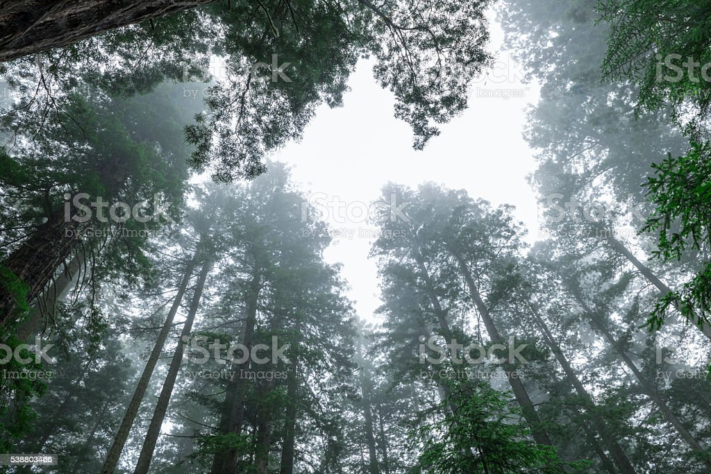 Tall Redwood Trees in fog stock photo