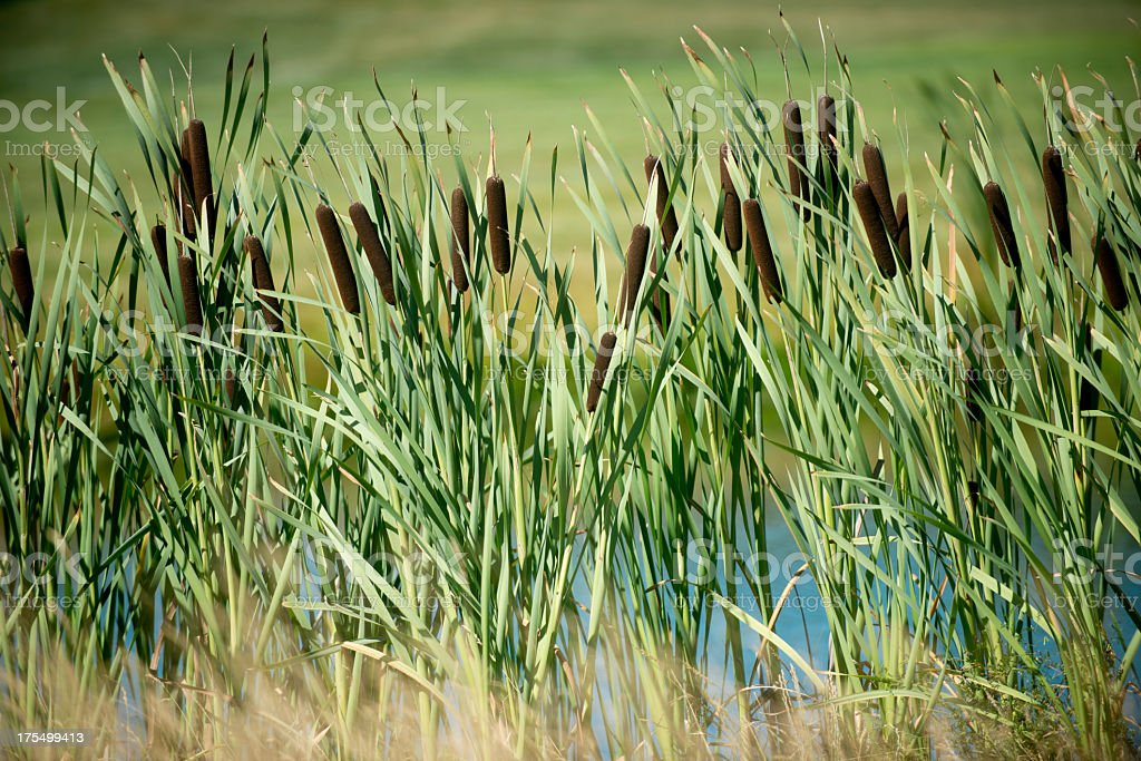 Tall reeds with grass scenery in background stock photo