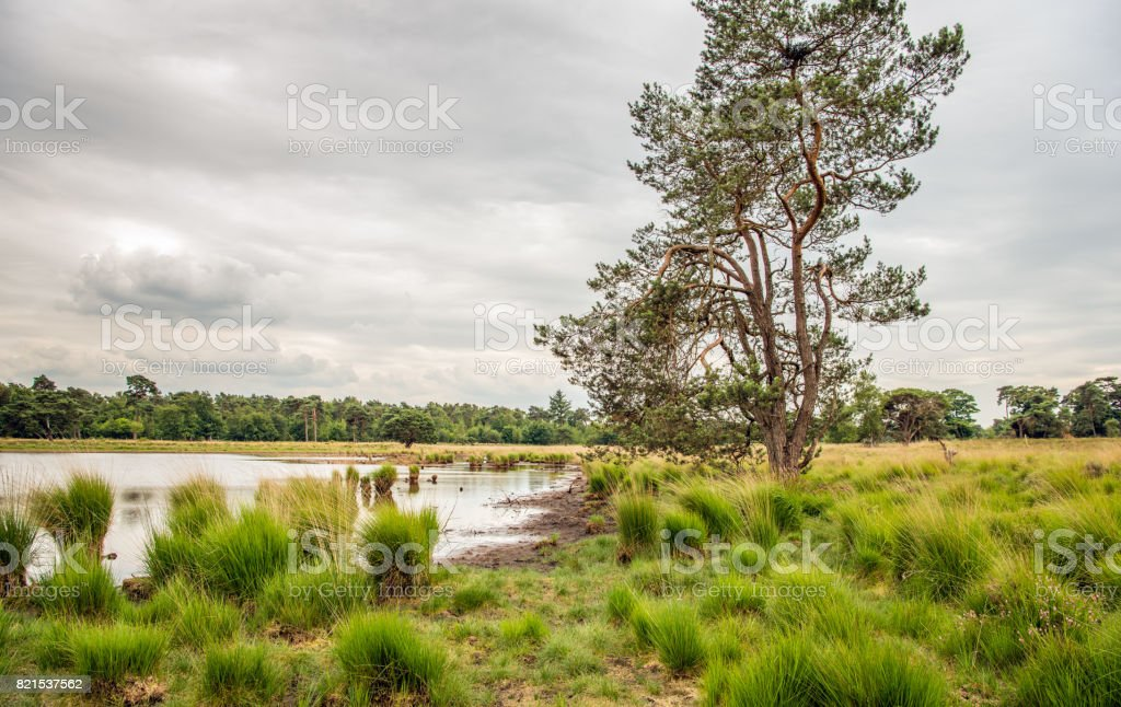 Tall scots pine tree against a cloudy sky in a Dutch nature reserve stock photo