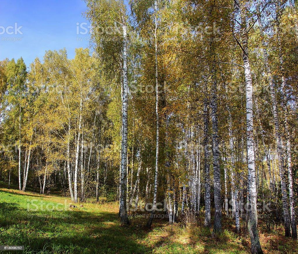 Tall slender white birch trunks in a golden dress stock photo