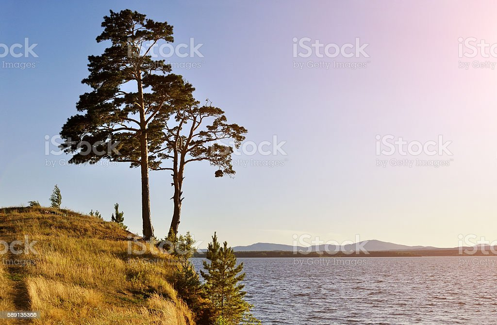 Tall spreading pine tree standing on the steep cliff stock photo