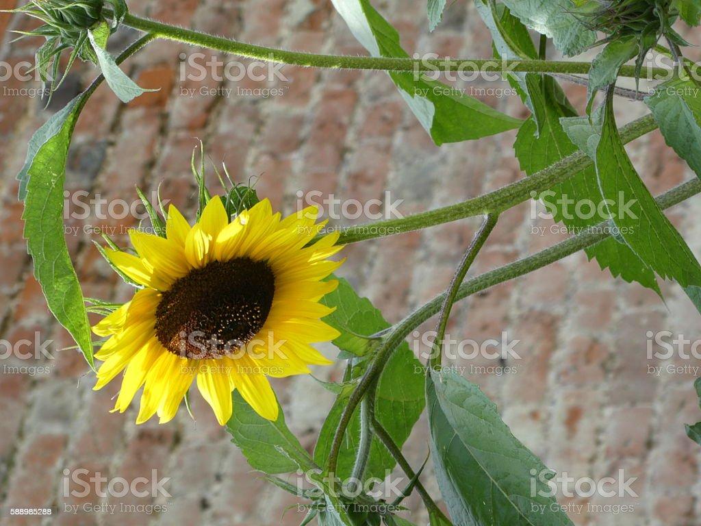 Tall sunflower stock photo