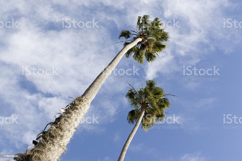 tall tall palm tree royalty-free stock photo