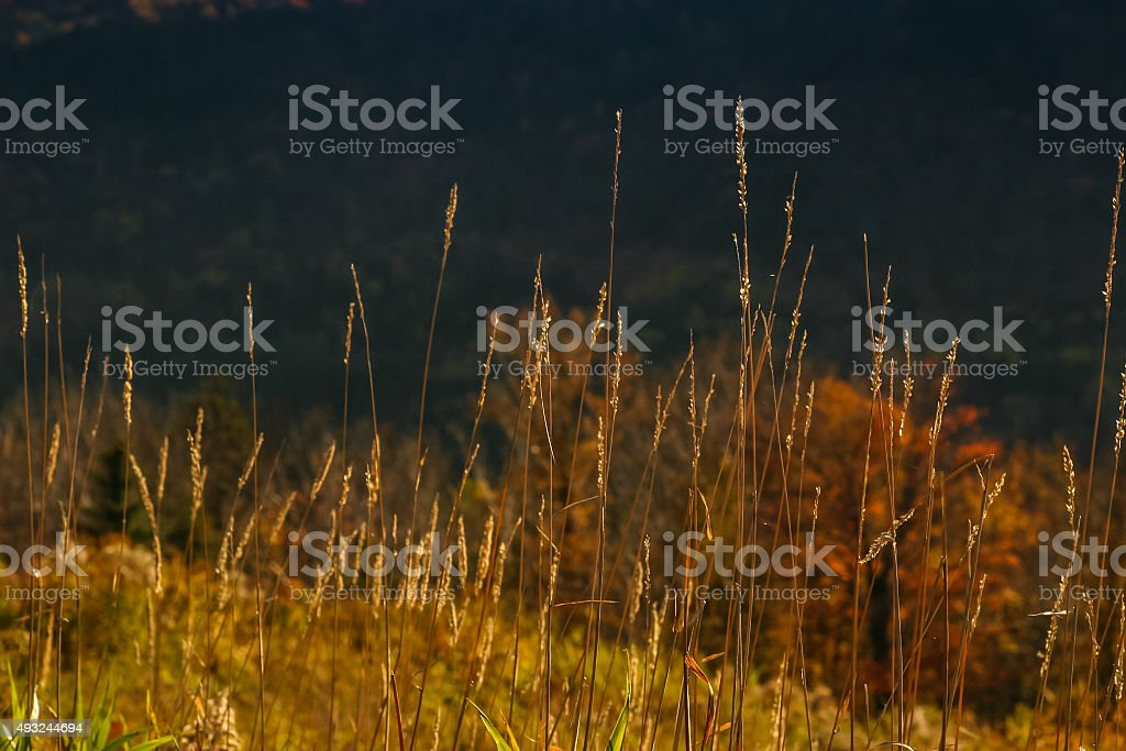 Tall, Thin Autumn Grasses in Sunlight with Dark Background stock photo