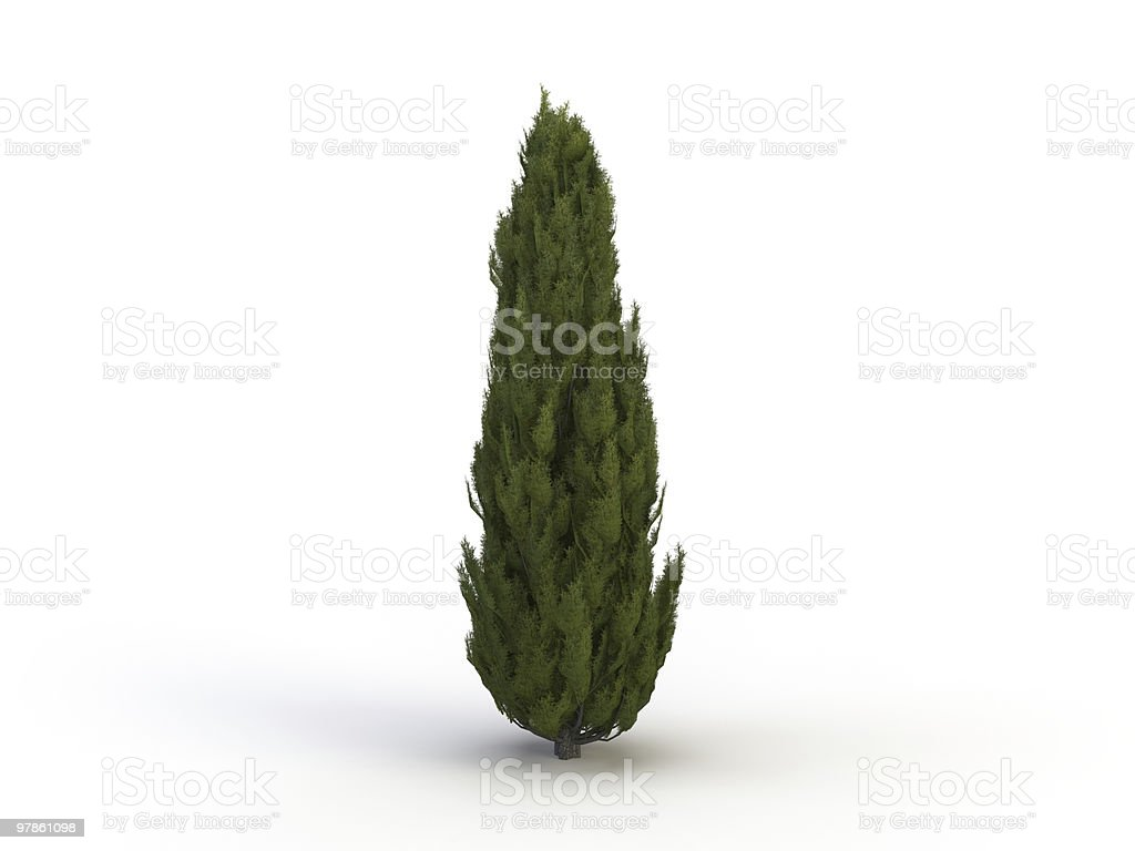 Tall thin cypress tree isolated on a white background royalty-free stock photo
