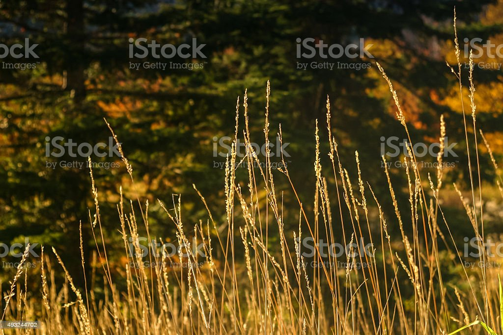 Tall, Thin, Sunlit Seed Heads with Dark Background stock photo