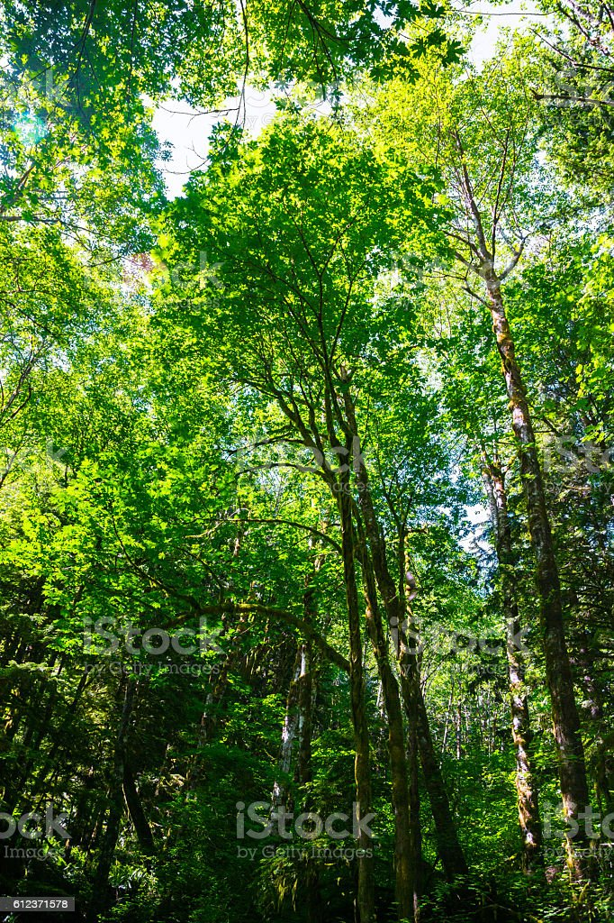 Tall Tree in Pacific Northwest stock photo