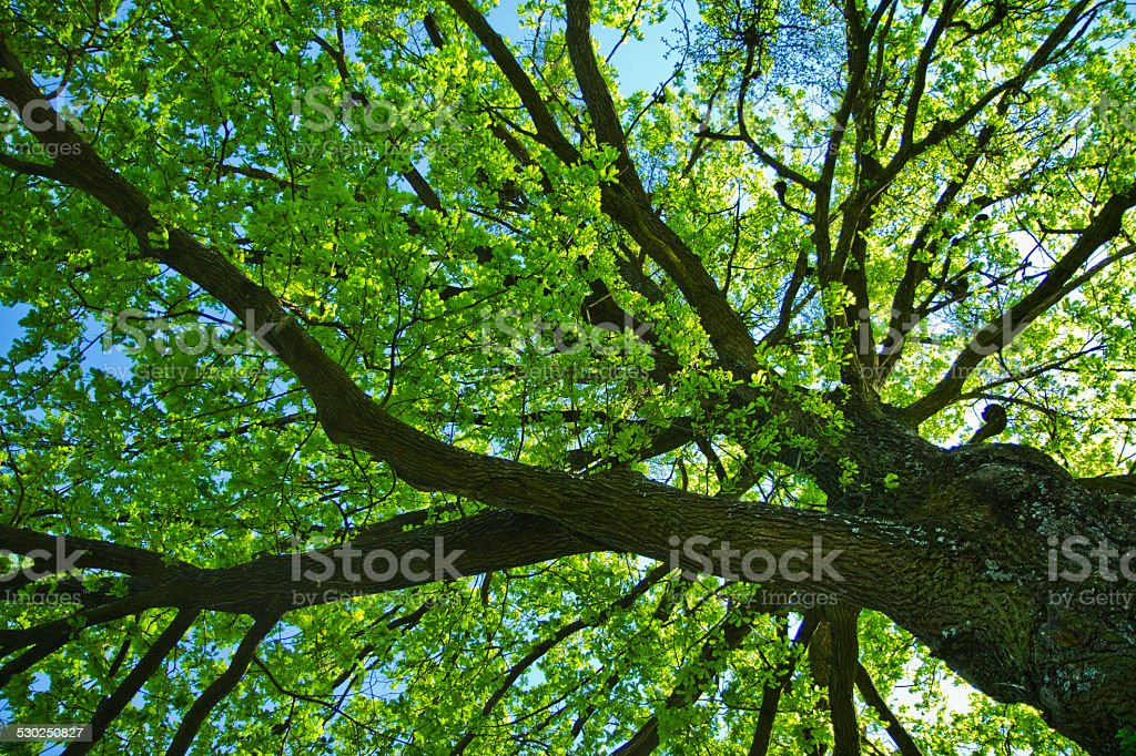 Tall tree in spring stock photo