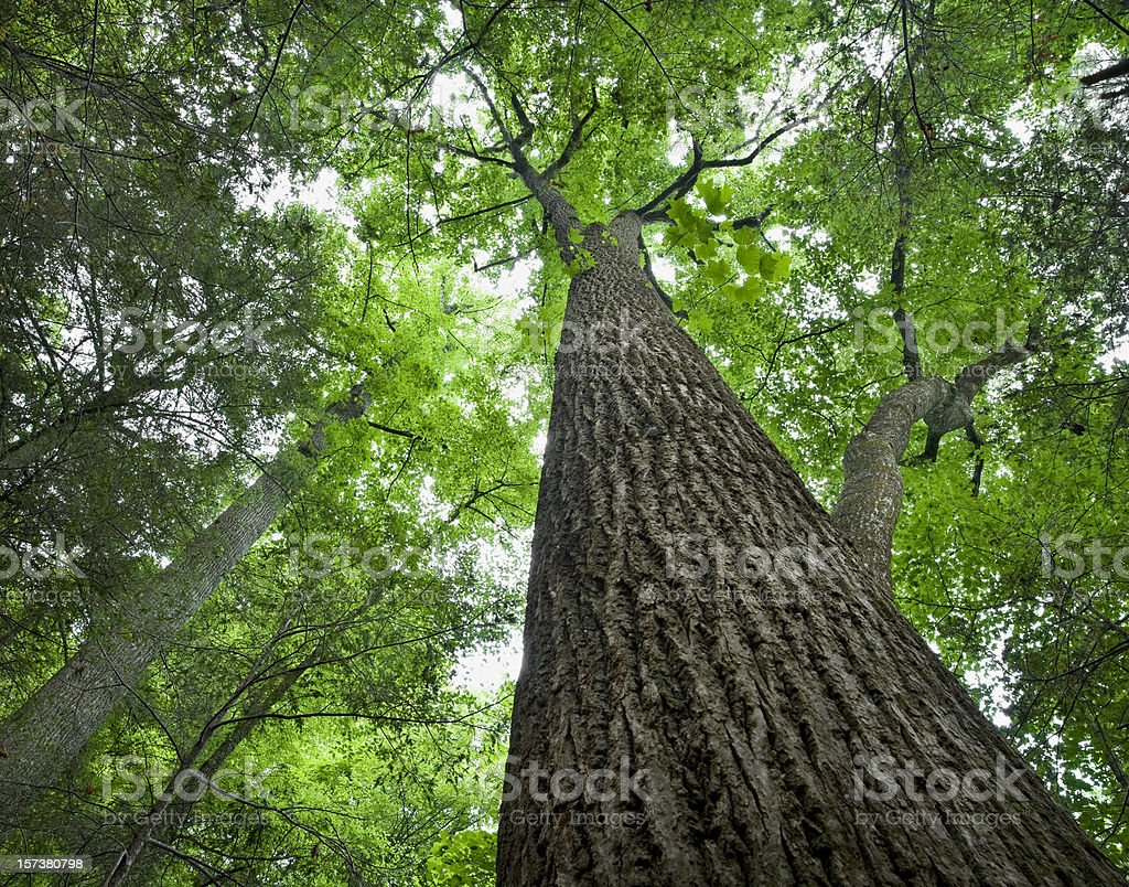 Tall Tree in the Forest Primeval stock photo