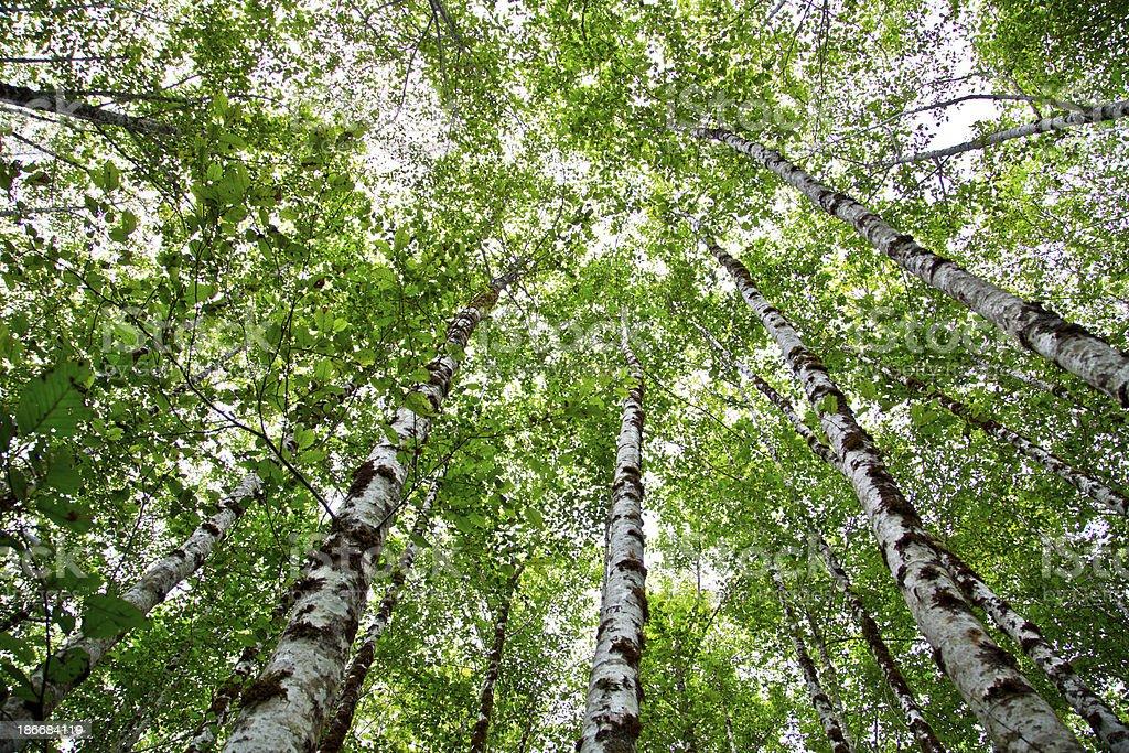 Tall Tree royalty-free stock photo