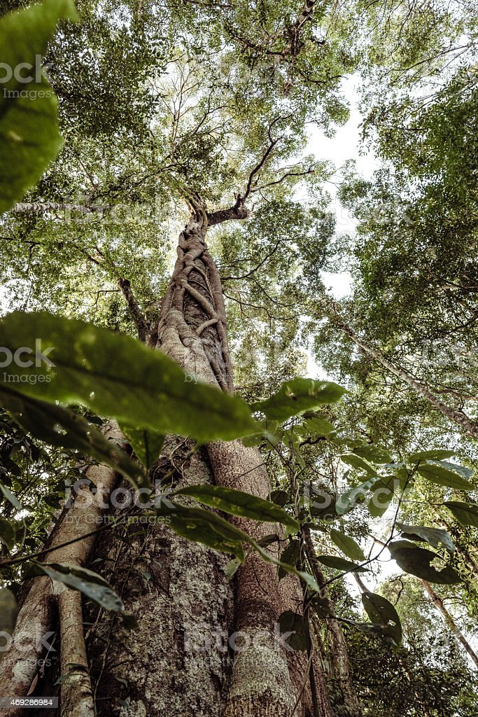 Tall Tree with Parasite in a Jungle of Thailand stock photo