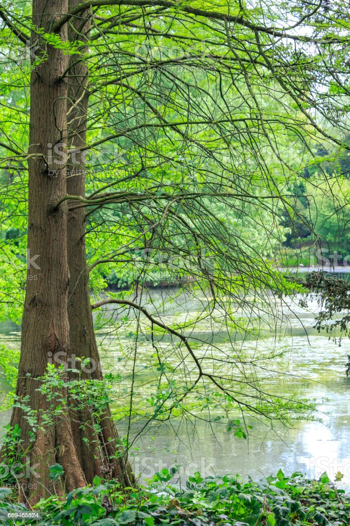 Tall trees along the pond stock photo