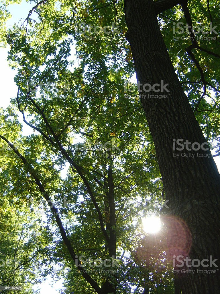 Tall Trees In A Forest With The Sun Shining royalty-free stock photo