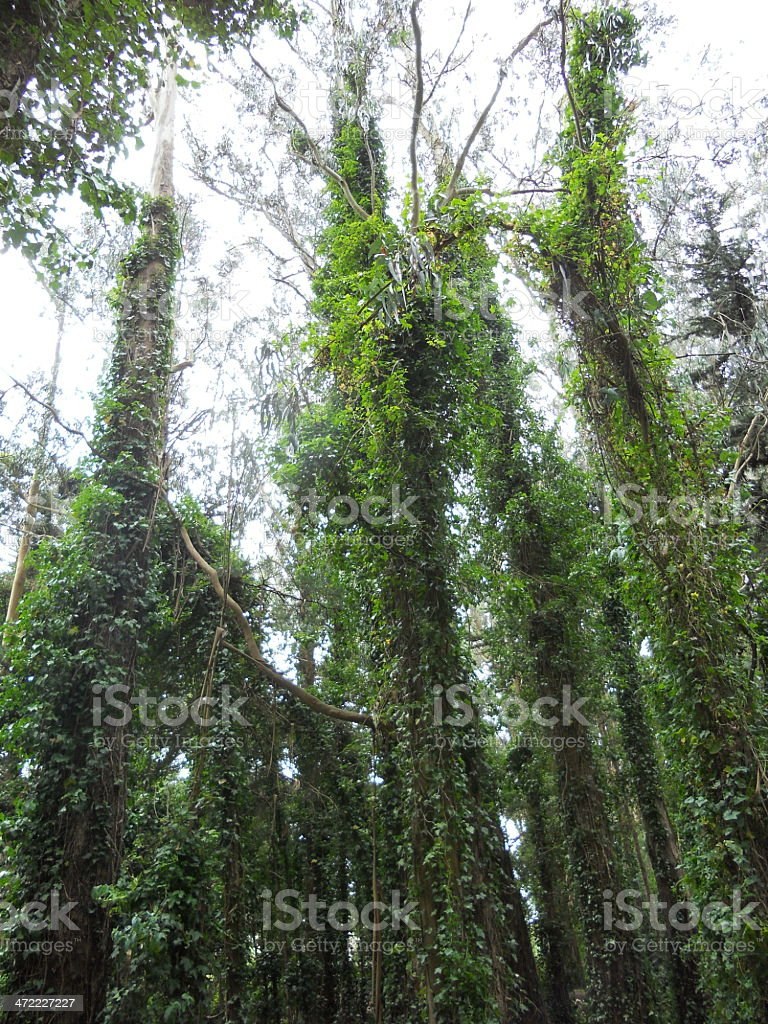 Tall Trees in a Forrest stock photo