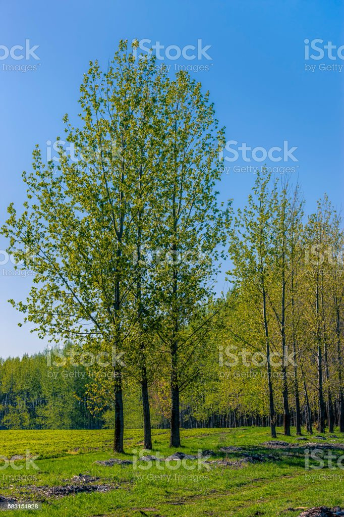 Tall trees in a green field. stock photo
