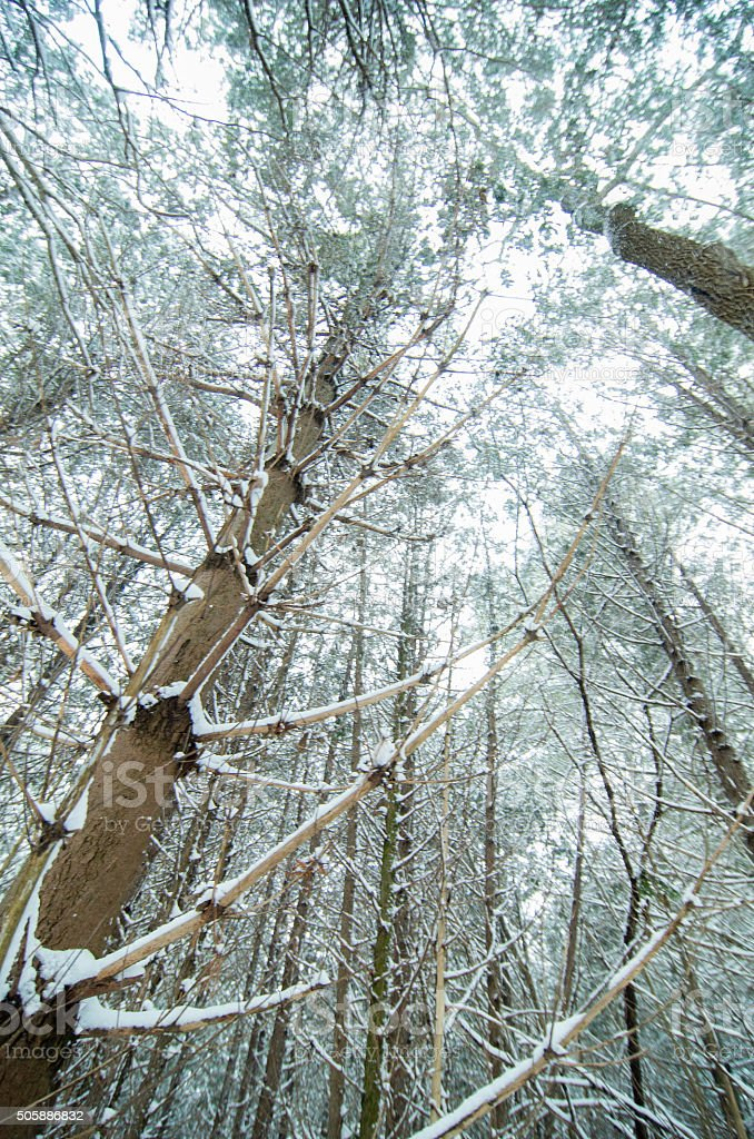 Tall Trees in a recent Snowfall stock photo