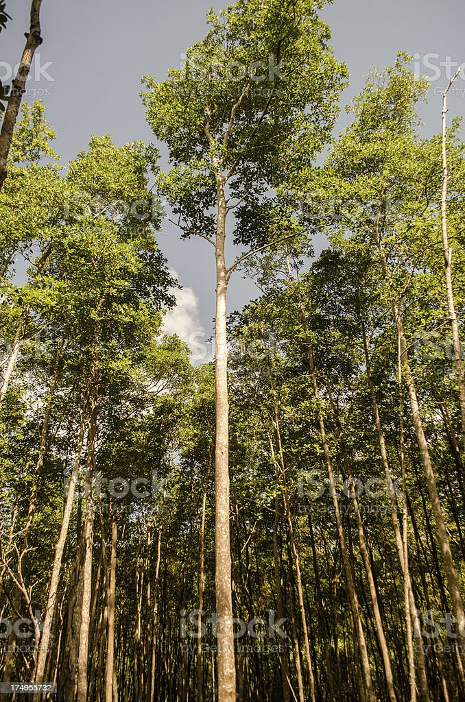 tall trees in forest royalty-free stock photo