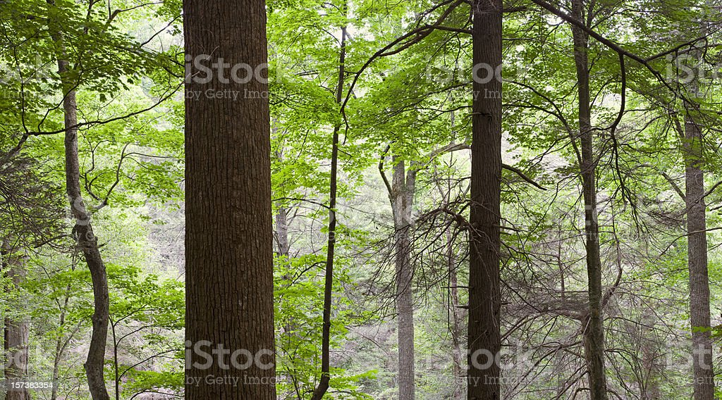Tall Trees in the Forest Primeval Oversize panorama royalty-free stock photo