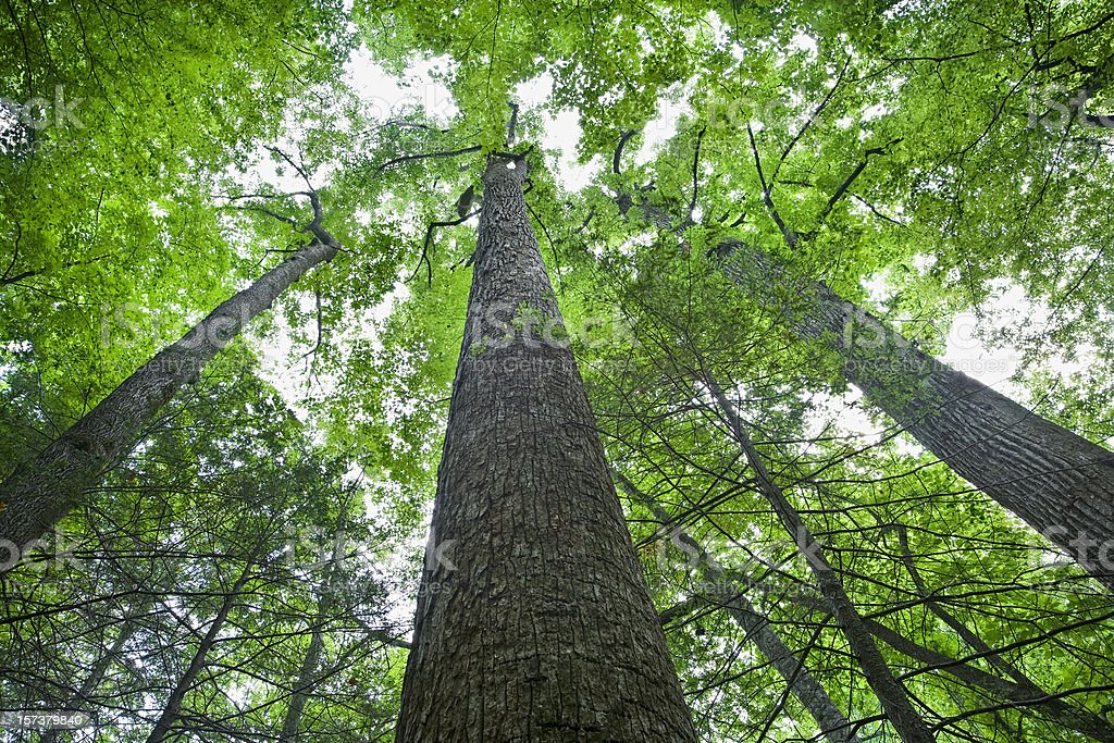 Tall Trees in the Forest Primeval stock photo