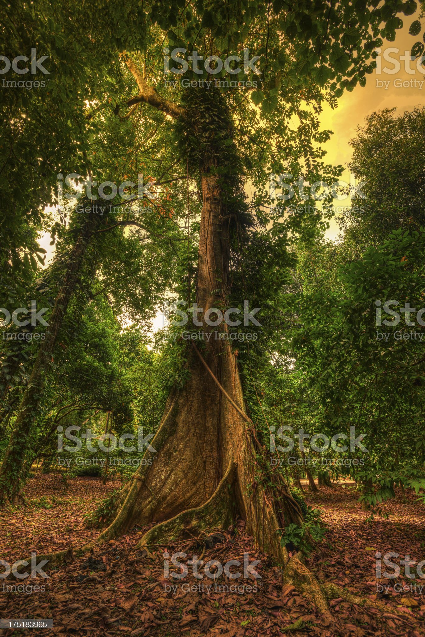 Tall Trees in Tropical Rainforest royalty-free stock photo