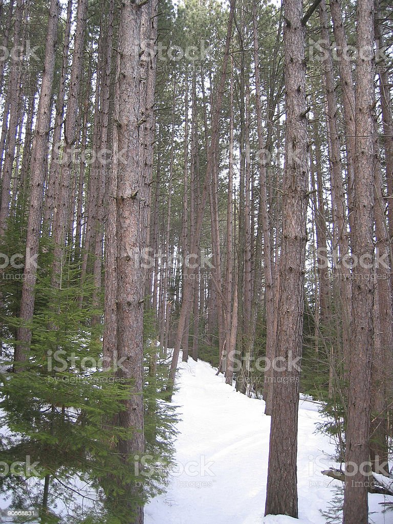 Tall Trees in Winter royalty-free stock photo