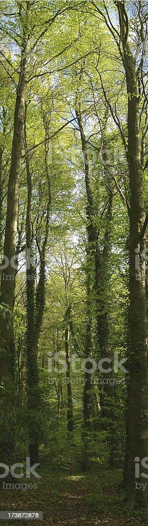 Tall trees royalty-free stock photo