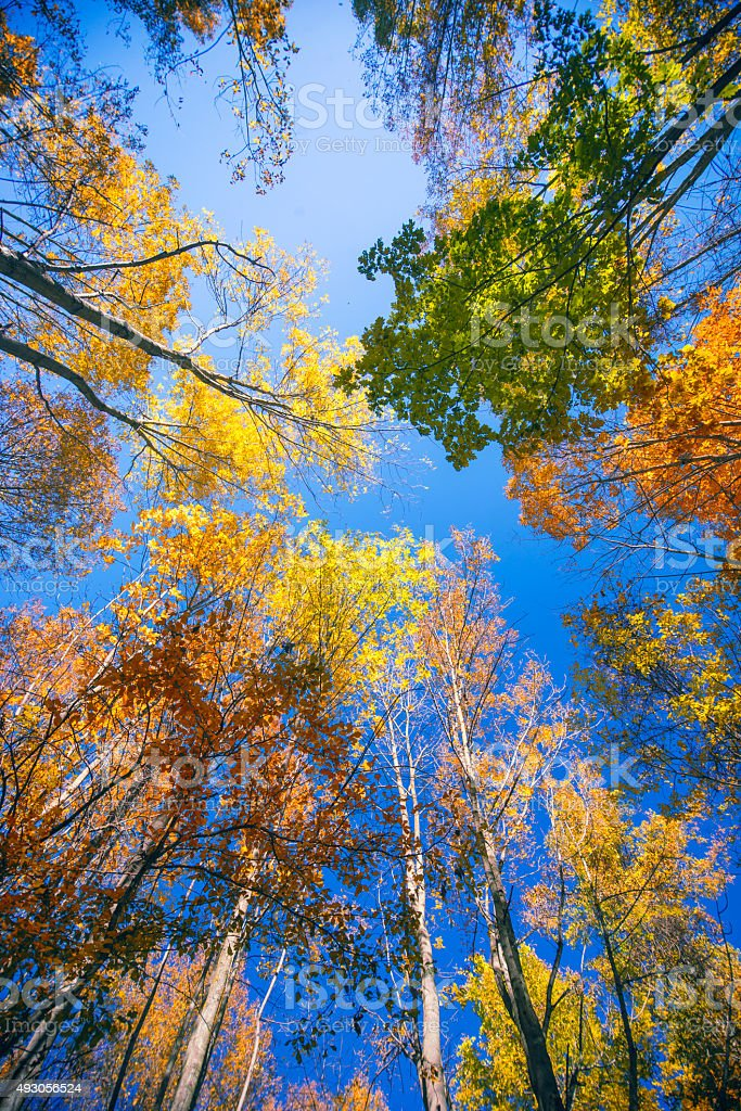 Tall trees with colorful autumn foliage stock photo