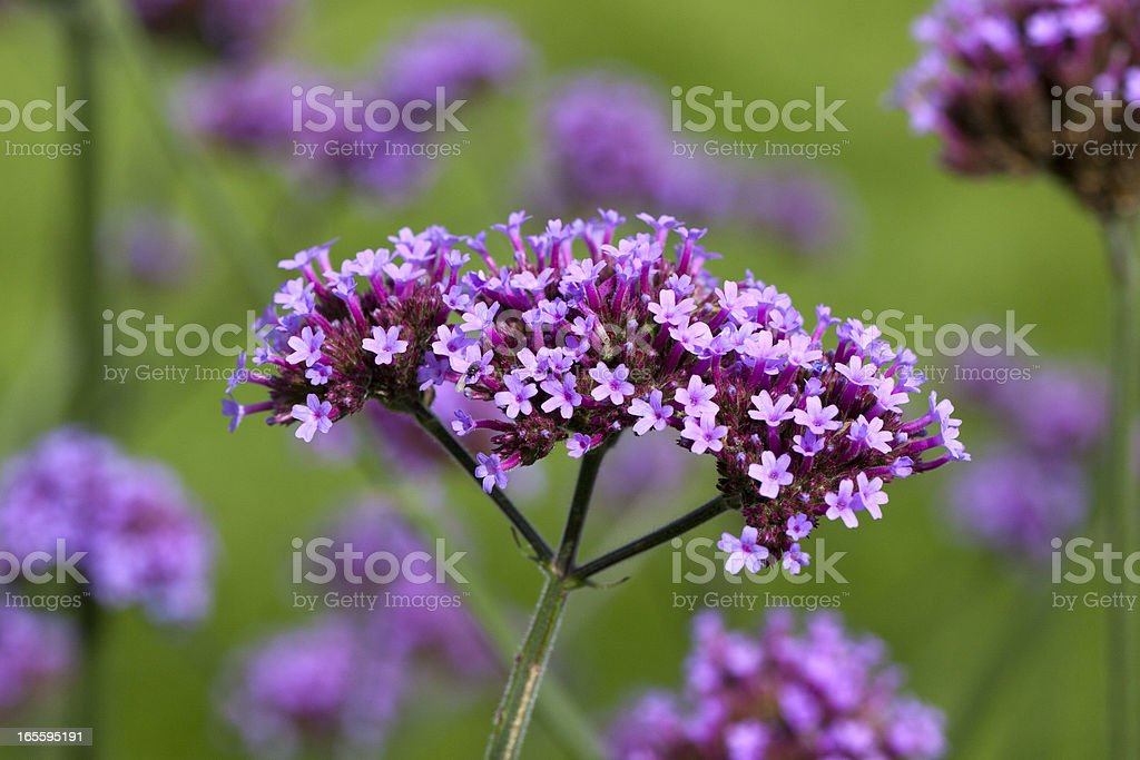 Tall Verbena stock photo