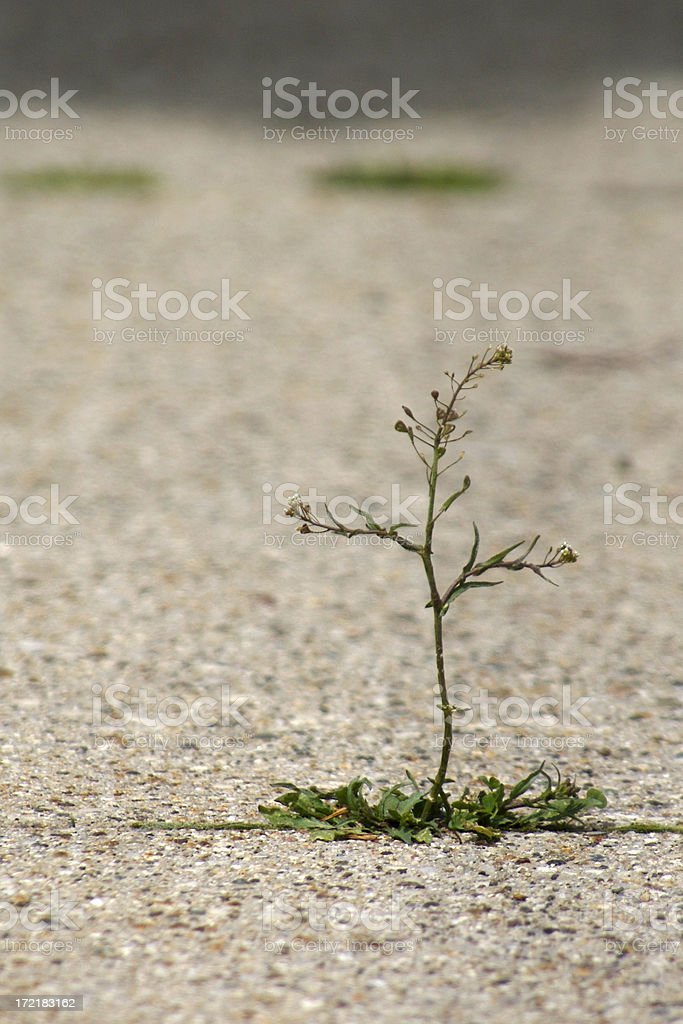 tall weed royalty-free stock photo