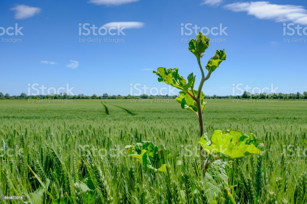 Tall weed seen growing in a summer field of barley. stock photo