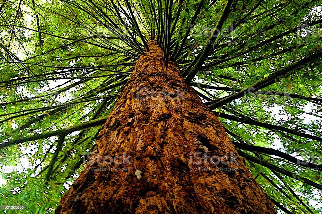 Tall Western Hemlock Tree stock photo