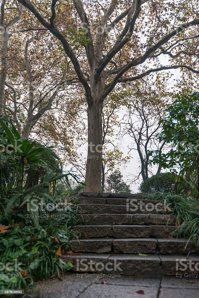 Tall White-bark Aspen Trees with Yellow Leaves stock photo