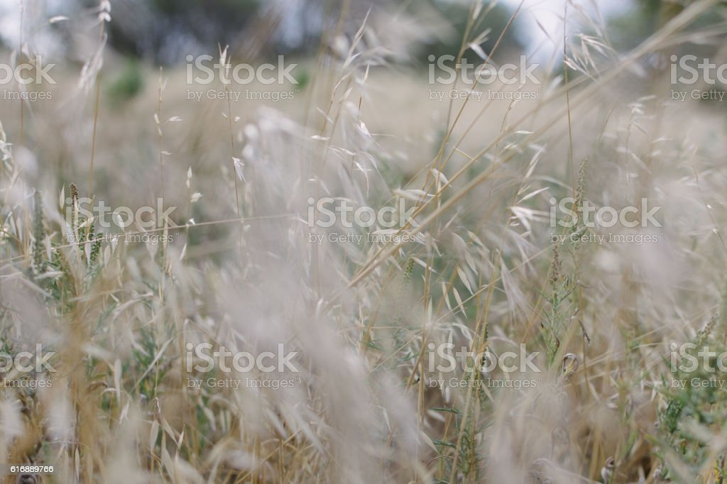 Tall wild grass growing in a meadow stock photo